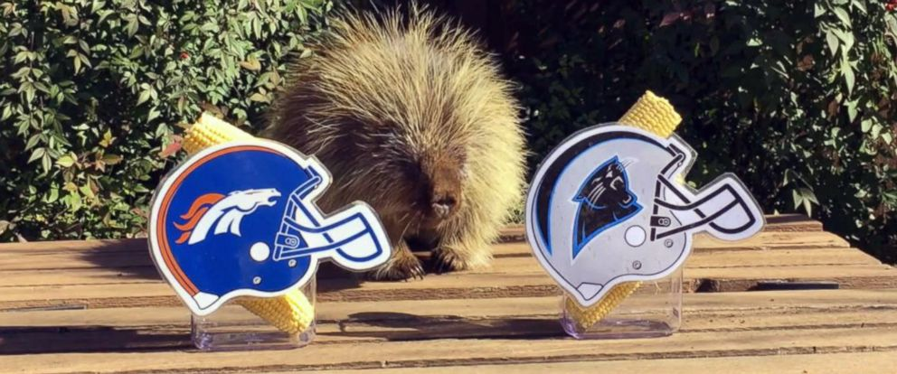PHOTO: Teddy Bear the Porcupine has made his pick for the winner of this years Super Bowl.