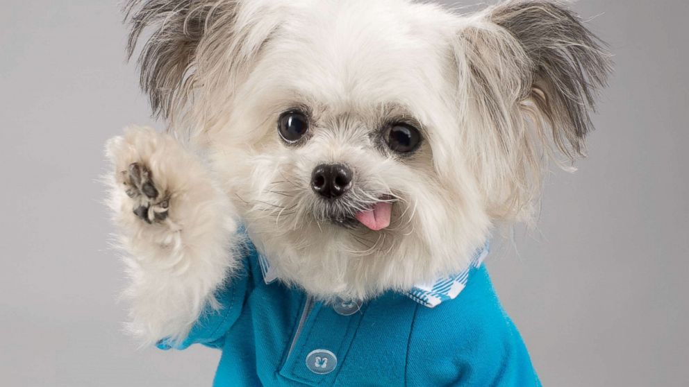 How Norbert, the adorable high-fiving therapy dog, became a social media star