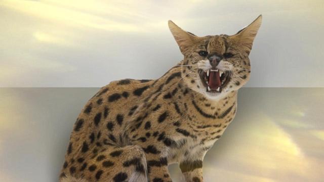 Hybrid Cats Are Por Controversial Pet