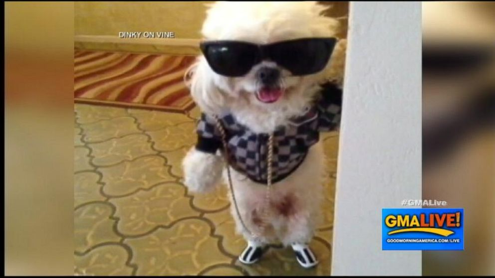 Dinky The Dog Video Vine Cool Dog Is An Internet Sensation Video
