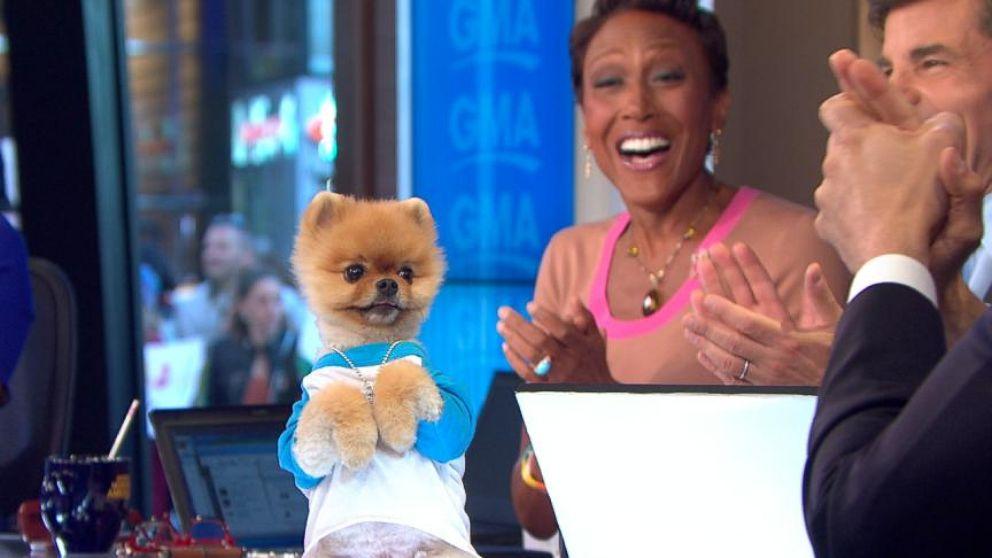 Cute Dog Video Jiff The Pomeranian Takes Over The Gma Desk Video