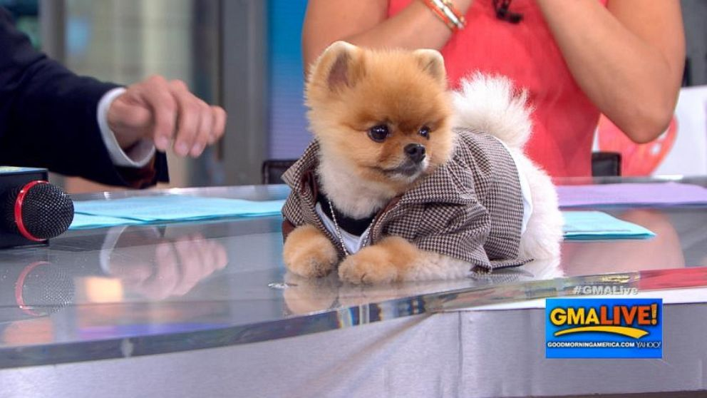 Cute Dog Video Jiff The Pomeranian Hangs Out On Gma Live Video