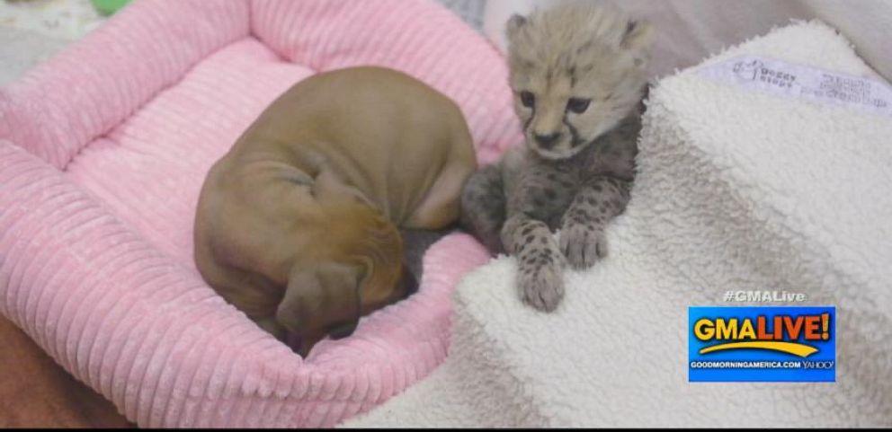 VIDEO: Six-week-old cheetah cub Ruuxa and seven-week-old Rhodesian ridgeback puppy Raina will grow up together.