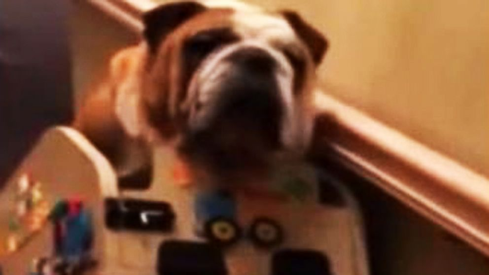 Aging Bulldog Gets Homemade Stair Lift