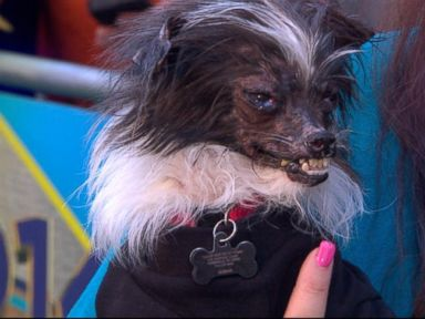 VIDEO: Owner Holly Chandler joins GMA to tell Peanuts story from shelter to contest winner.