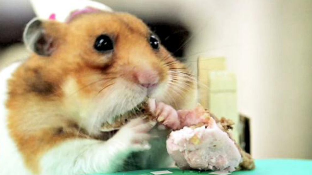 Miraculous Tiny Hamsters Eating A Tiny Birthday Cake Video Abc News Funny Birthday Cards Online Inifofree Goldxyz