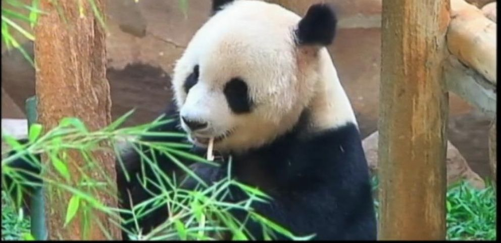 VIDEO: A 6-year-old Giant Panda in China is believed to have feigned pregnancy to get food and better accommodations.