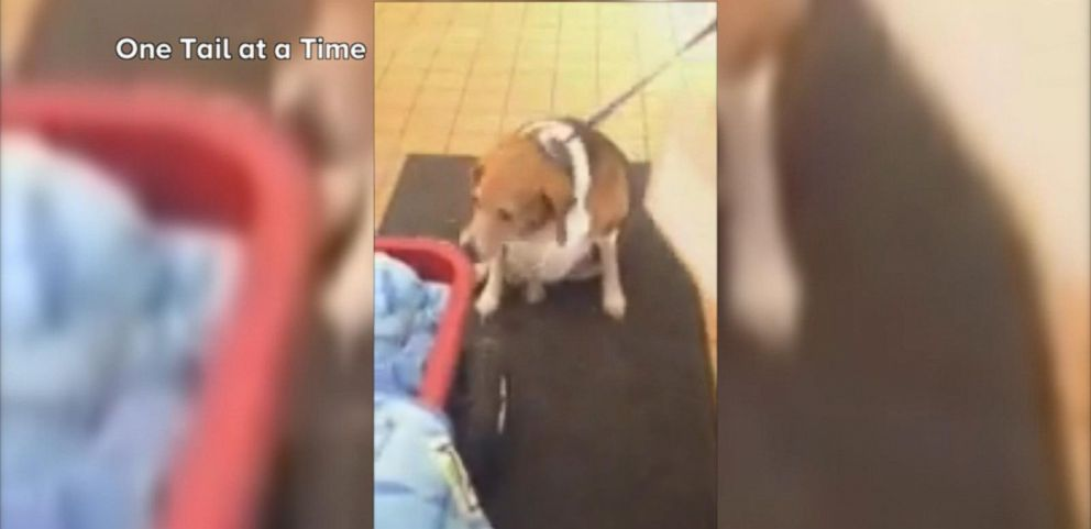 VIDEO: 85-Pound Dog Named Kale Chips Had to be Wheeled Out in a Wagon