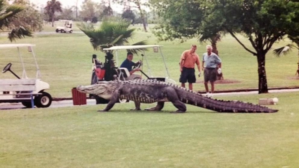Giant Alligator Spotted On Florida Golf Course Video Abc News