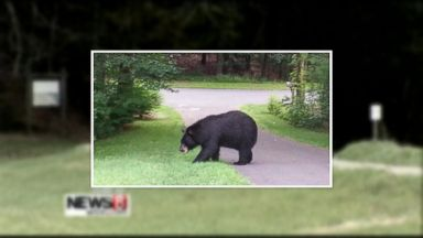 Family of bears faces tourists in yellowstone national park video connecticut runners chased by dangerous black bear dial 911 publicscrutiny Image collections