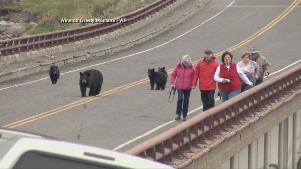 Family of bears faces tourists in yellowstone national park video family of bears faces tourists in yellowstone national park publicscrutiny Image collections