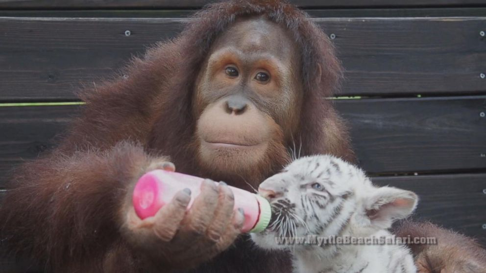 Orangutan Plays Mom To Four Baby Tiger Cubs In South