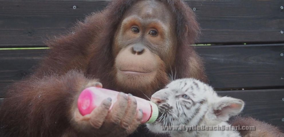 VIDEO: Orangutan Plays Mom to Four Baby Tiger Cubs in South Carolina