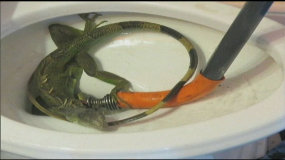 Florida Woman Has Iguana Plunged From Her Clogged Toilet Abc News