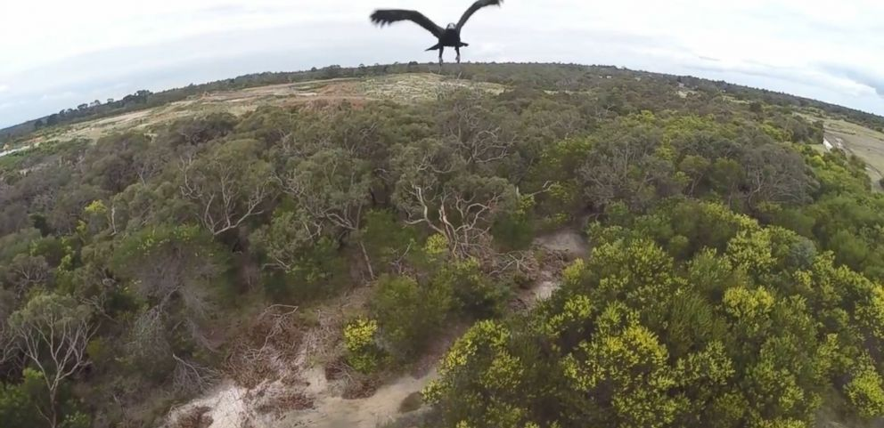 VIDEO: The Wedge-Tailed eagle survived the full-speed impact with Adam Lancasters drone as he flew it in Australia.