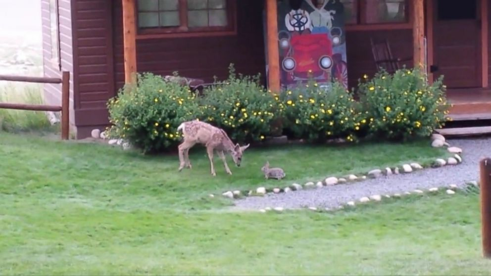 Caught on Video: Real-Life Bambi and Thumper Play in the