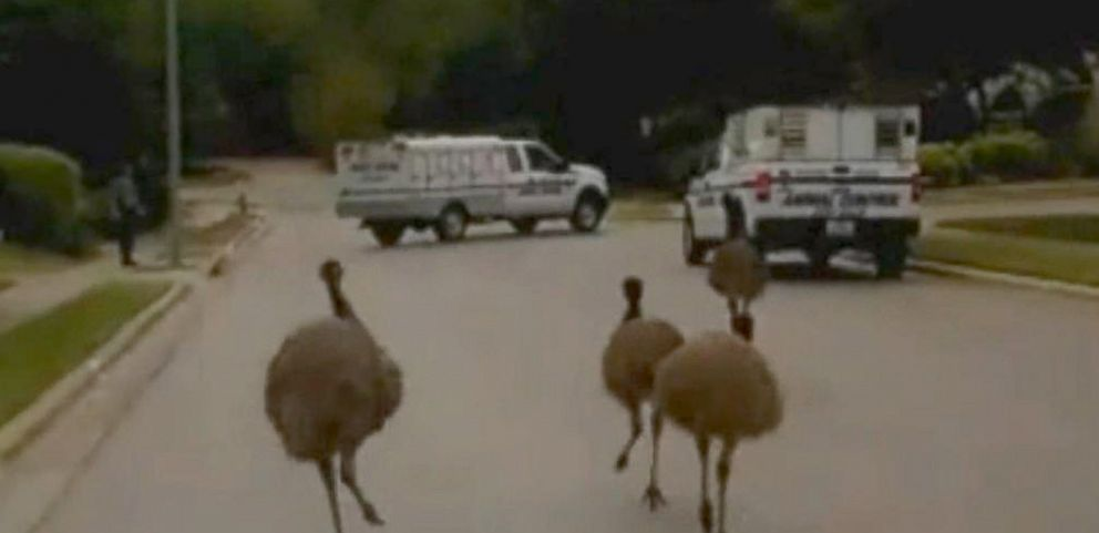 VIDEO: Cops Try to Corral Emus on the Loose in Texas