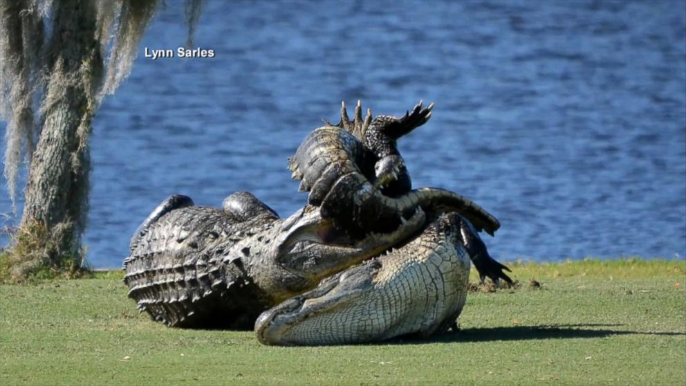 Goliath the gator stalks another gator before tackling him abc news goliath the gator stalks another gator before tackling him abc news forumfinder Choice Image