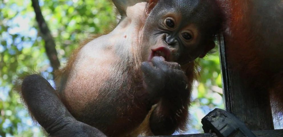 VIDEO: The new school teaches orphaned babies to climb and socialize.
