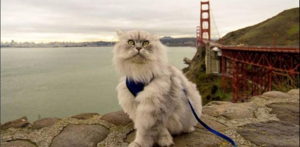 VIDEO: The 2-year-old Siberian cat has amassed more than 14,000 followers on Instagram.