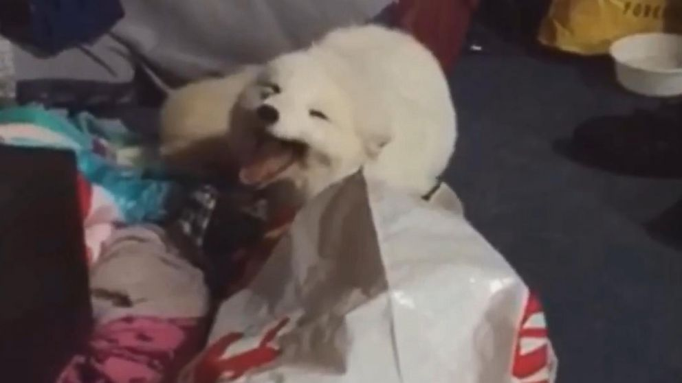 Adorable Pet Arctic Fox Starts Cracking Up Whenever He Hears