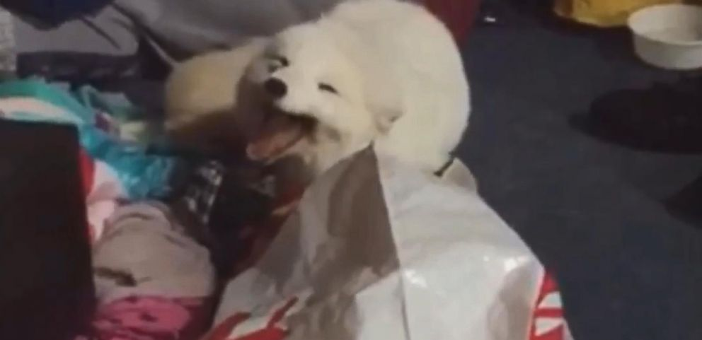 VIDEO: Archer is a 4-year-old Arctic fox that laughs when he is sleepy.