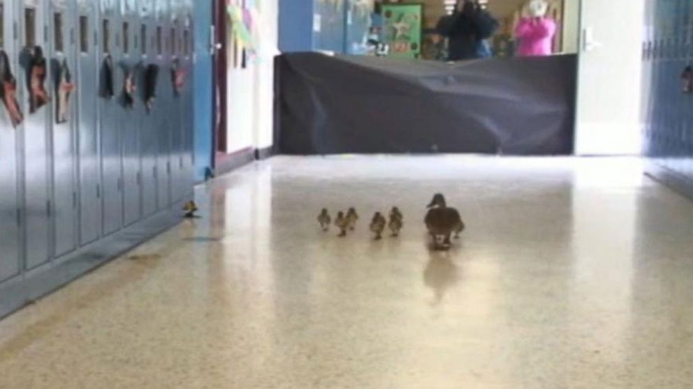 Ducks Following Dog