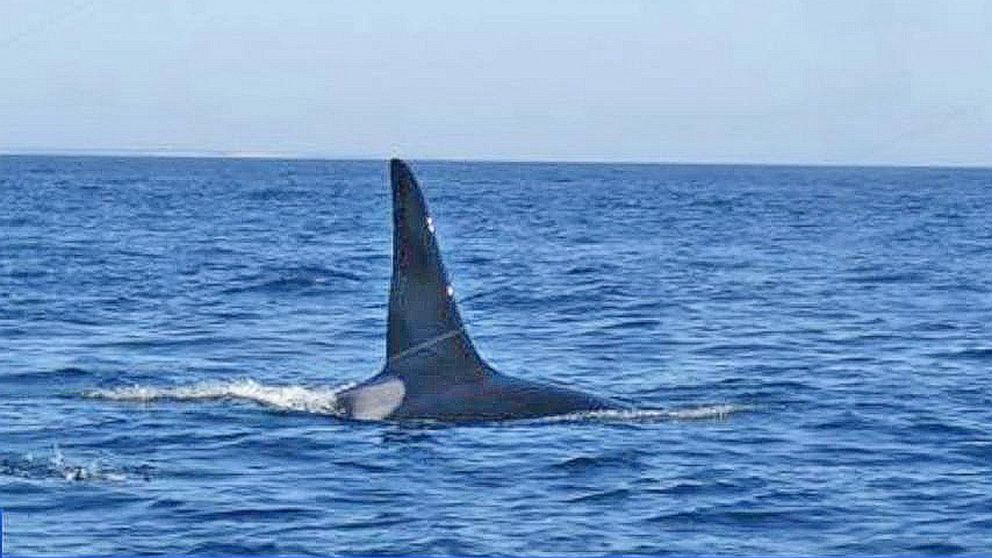 Orca Spotted Off the Coast of Cape Cod
