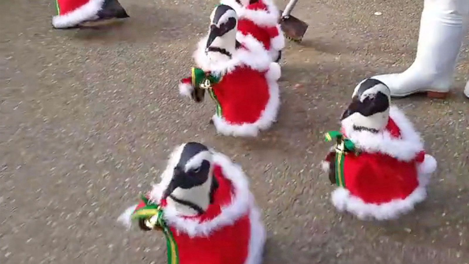 6 santa penguins take a walk just in time for christmas abc news