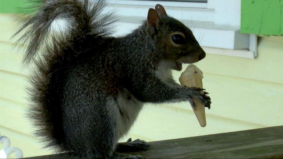 squirrel served daily ice cream minicones at north