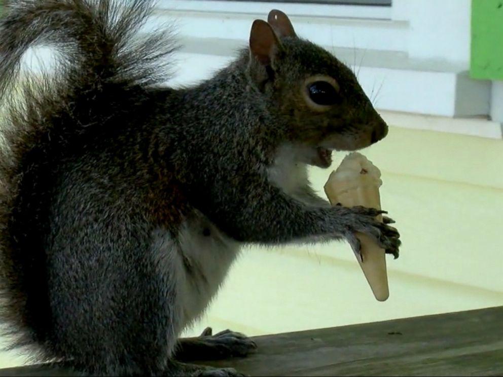 VIDEO: Putter the squirrel visits Fantasy Isle Ice Cream and Mini Golf in Holden Beach twice a day for mini vanilla ice cream cone.
