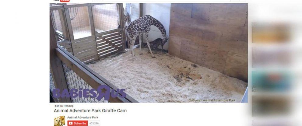 VIDEO: April the giraffe finally gives birth