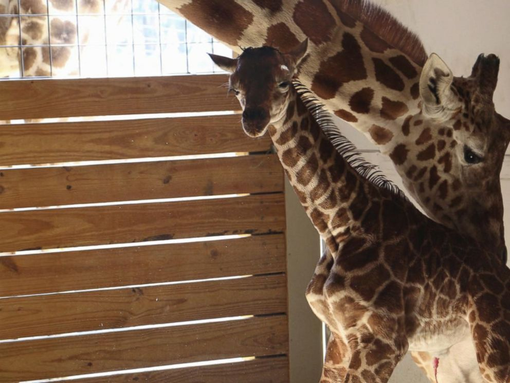 VIDEO: Millions waiting for viral sensation April the giraffes calf to be named