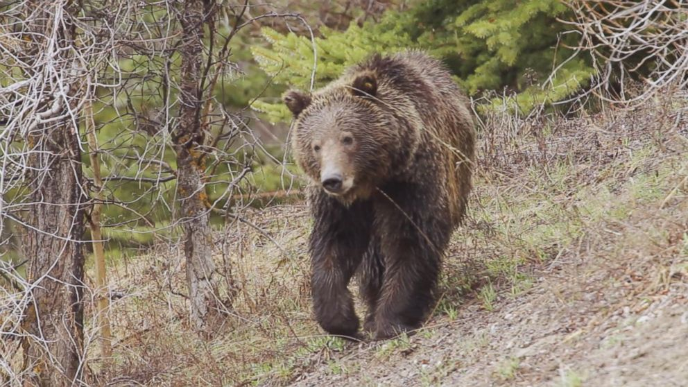 Man survives brown bear attack in alaska video abc news buffering publicscrutiny Choice Image