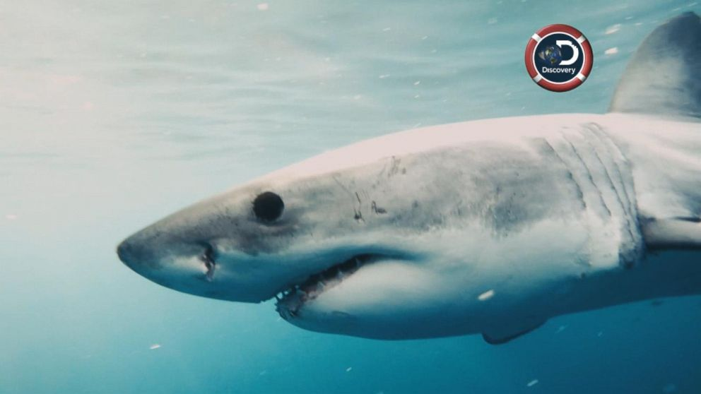 Are there great white sharks in new york city video abc news buffering publicscrutiny Gallery