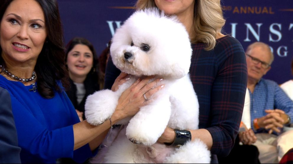 Meet the bichon frise named Westminster Kennel Club Dog