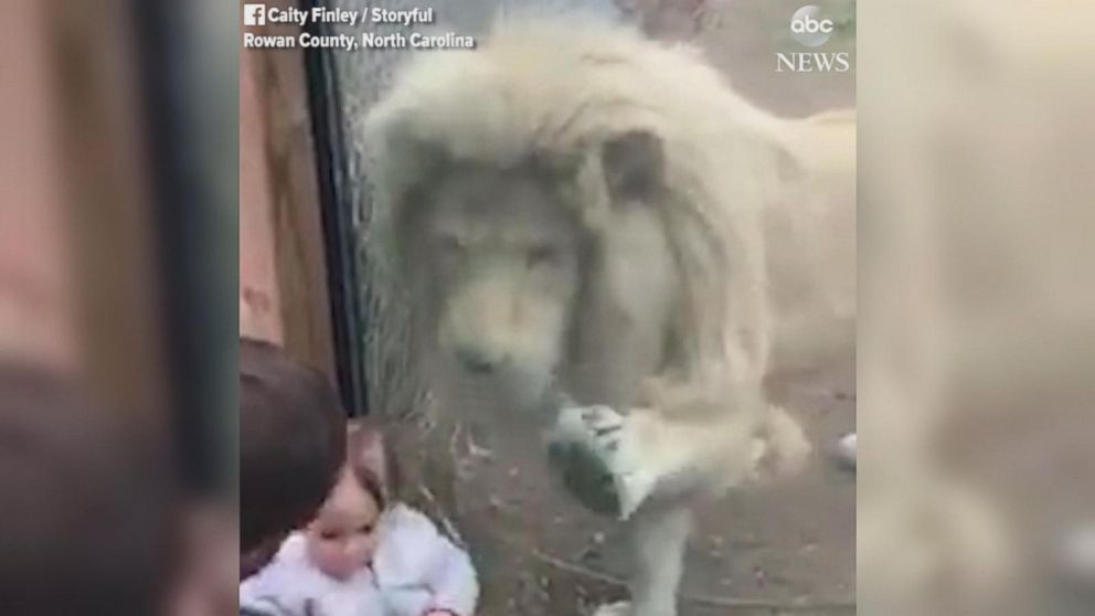 Toddler has adorable reaction to a lion pawing at her from behind a glass enclosure