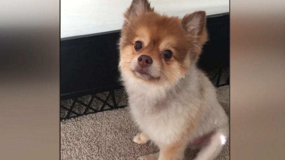 8 year old pomeranian dog dies aboard delta flight video abc news buffering altavistaventures Image collections