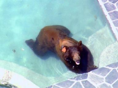 WATCH:  Black bear cools off in backyard pools around LA neighborhood