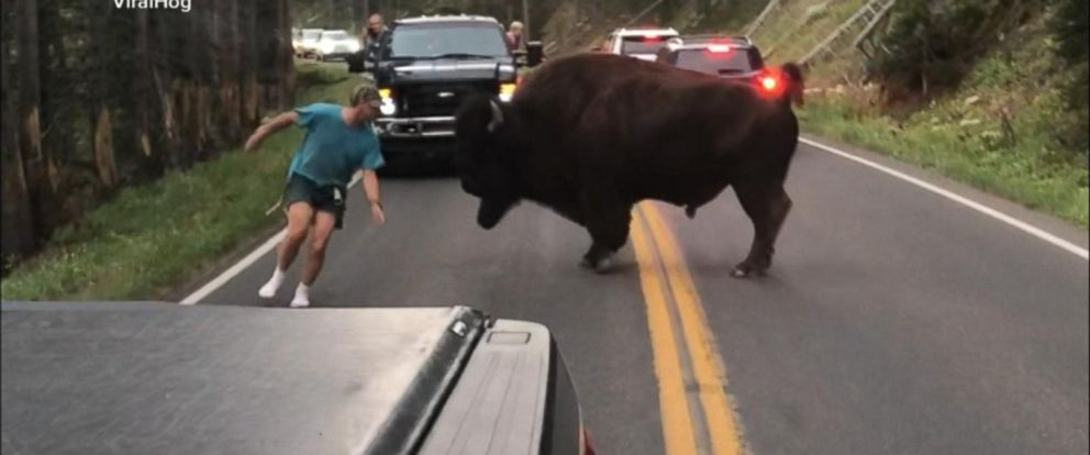 VIDEO: Man gets out of car to taunt bison at Yellowstone