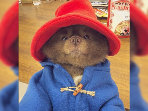 WATCH:  Adorable Pup breaks the internet with Paddington Bear costume