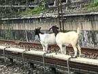 WATCH:  Jon Stewart guides goats off train tracks