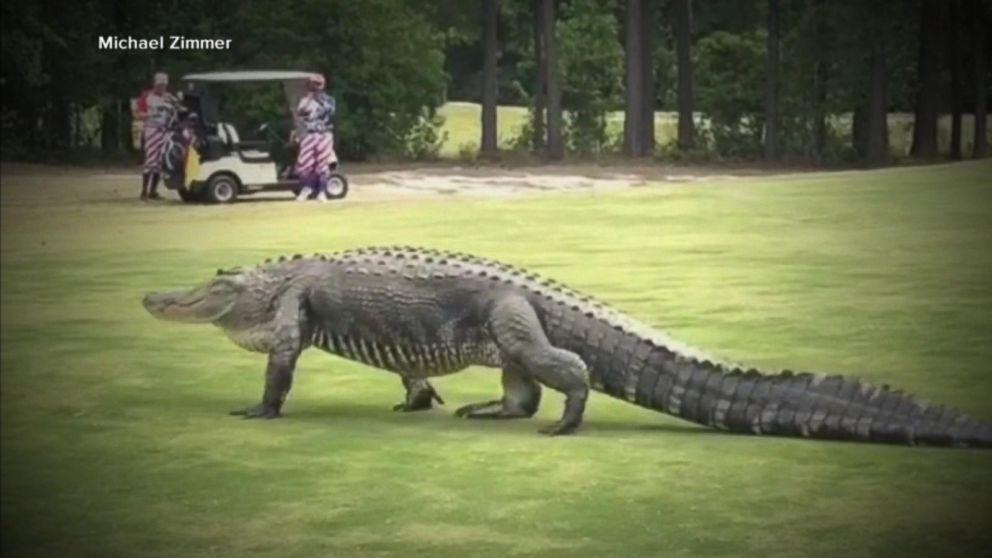 Woman Walking Dog Victim Of Gator Attack Video Abc News