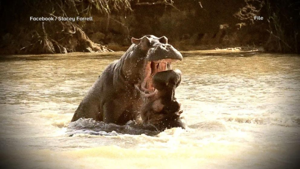 American woman attacked by hippo after boat capsizes on