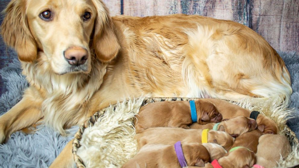 This Golden Retriever Who Had A Maternity Shoot Just Gave Birth To
