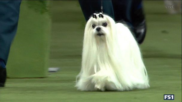 4 dogs advance in Westminster Dog Show
