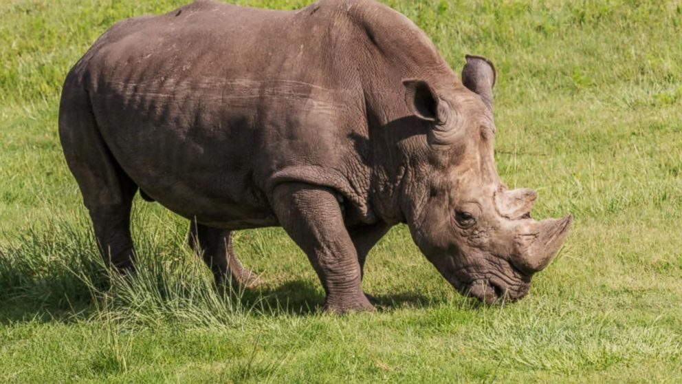 Florida Zookeeper Taken To Hospital After Rhinoceros Strikes Her With Horn Abc News