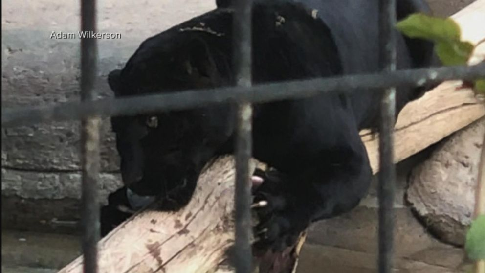 Jaguar attacks woman at Arizona zoo