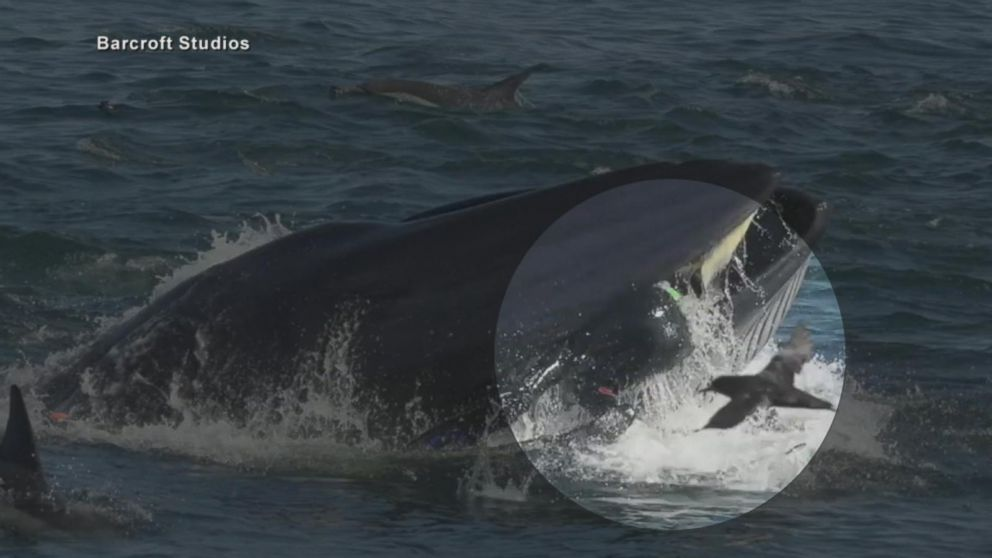 Diver Accidentally Ends Up Inside The Mouth Of A Large Whale Video