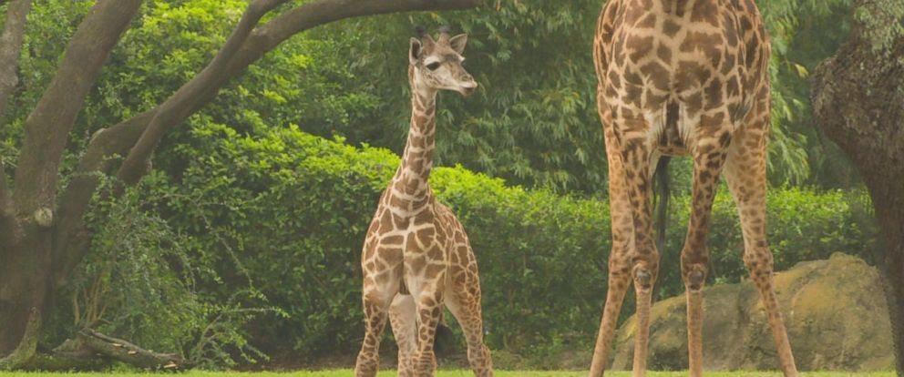 VIDEO: Disney announces name of baby giraffe born at Animal Kingdom